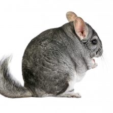Petmania Chinchilla 3