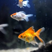 Petmania Coldwater Fish